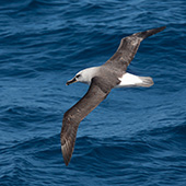 Grey-headed Albatross -