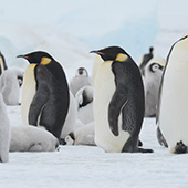 Emperor Penguin - Weddell Sea - In search of the Emperor Penguin incl. helicopters