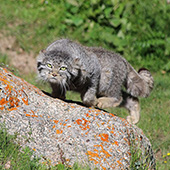 Pallas cat, Wildlife of the Great Silk Road