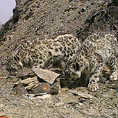 Snow leopard - Kazakhstan, Wildlife of the Great Silk Road