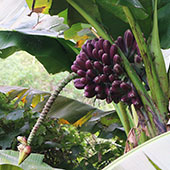 Wild Taiwan purple bananas
