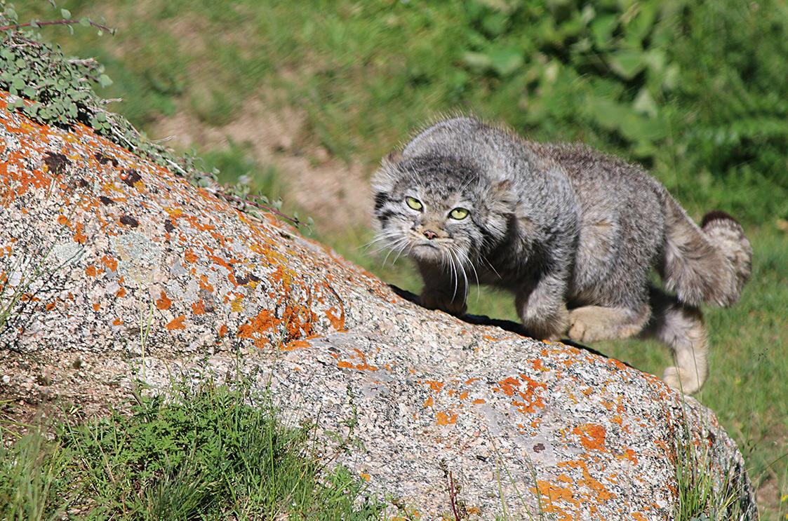 Pallas' Wildcat