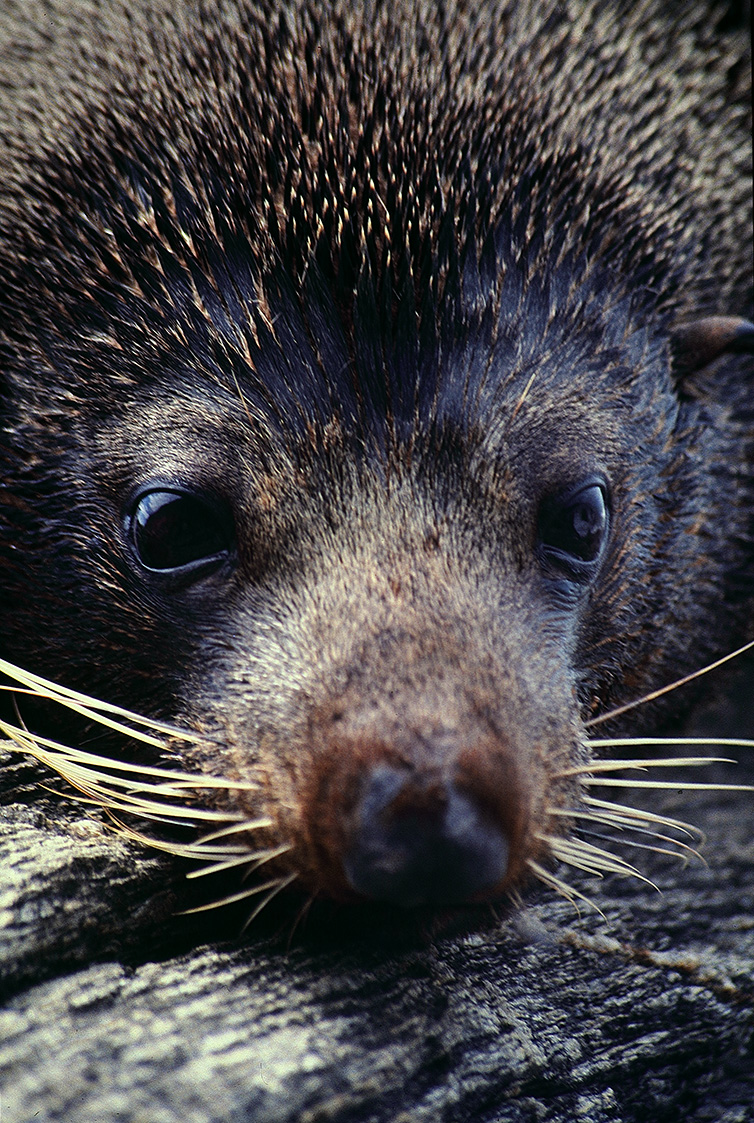 Southern Fur-seal