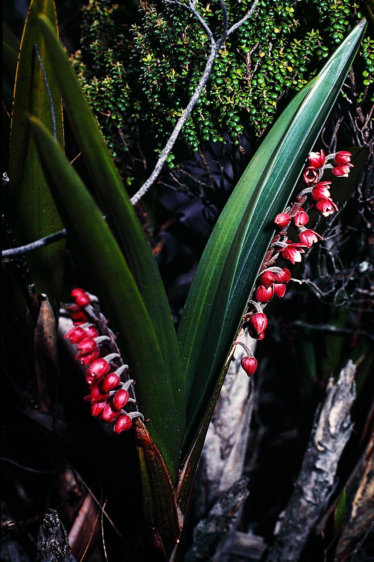 Mount Kinabalu plants