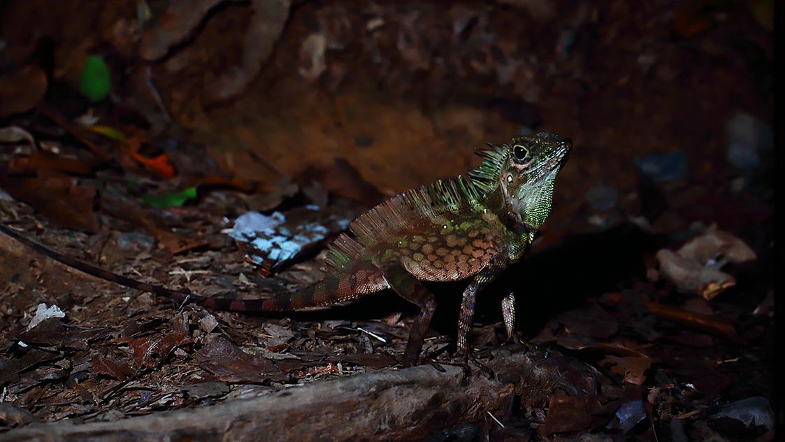 Borneo Angle-headed Lizard