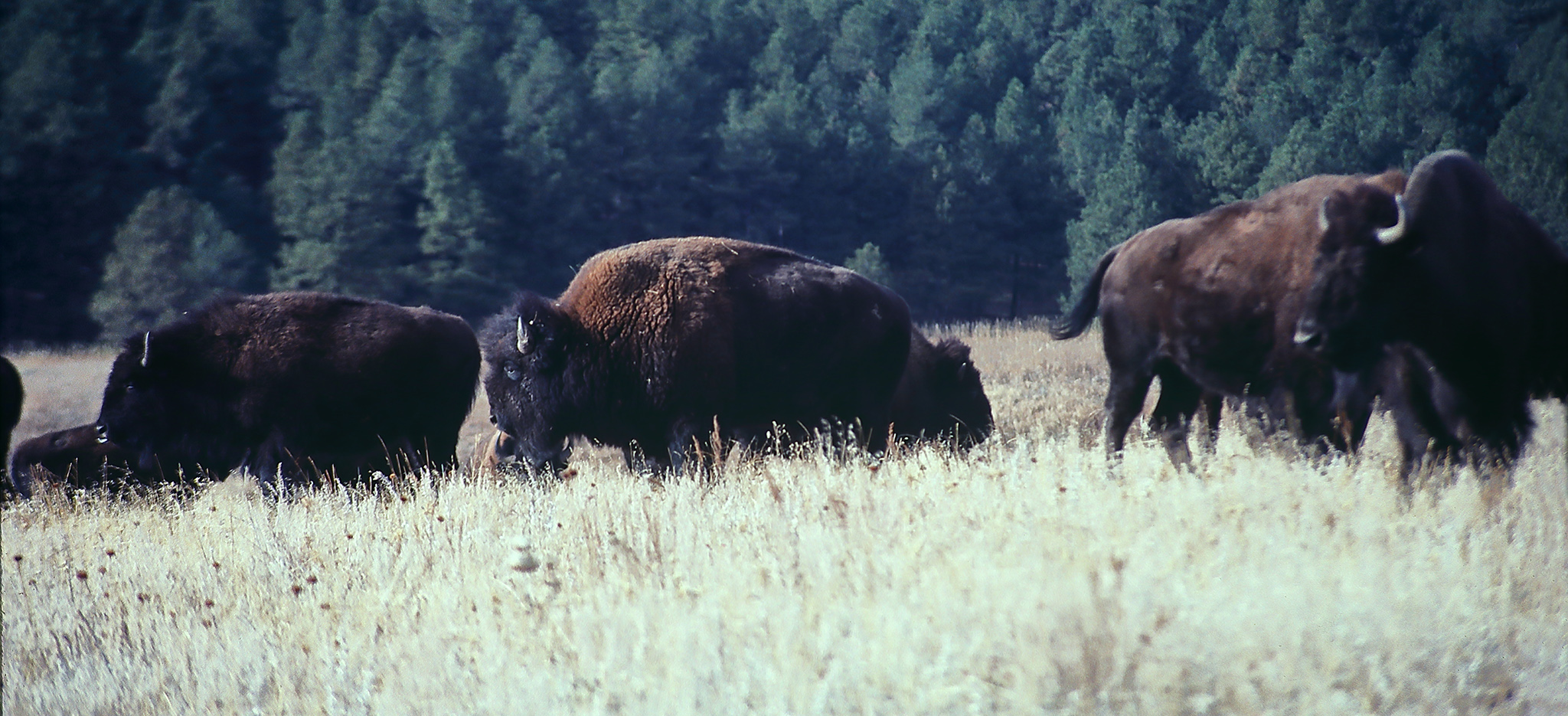 Bison in Wyoming by Nature Expeditions