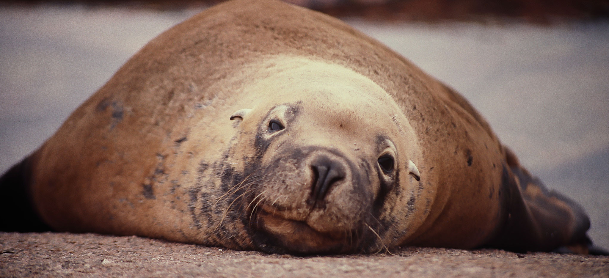 Seal in Falkland Islands by Nature Expeditions