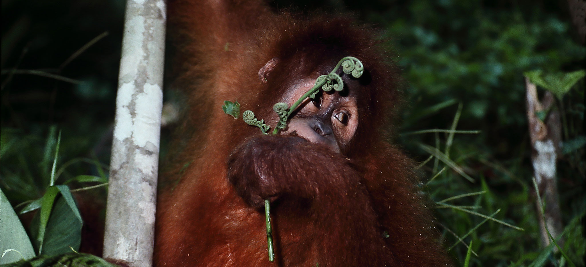 Orangutan in Borneo by Nature Expeditions