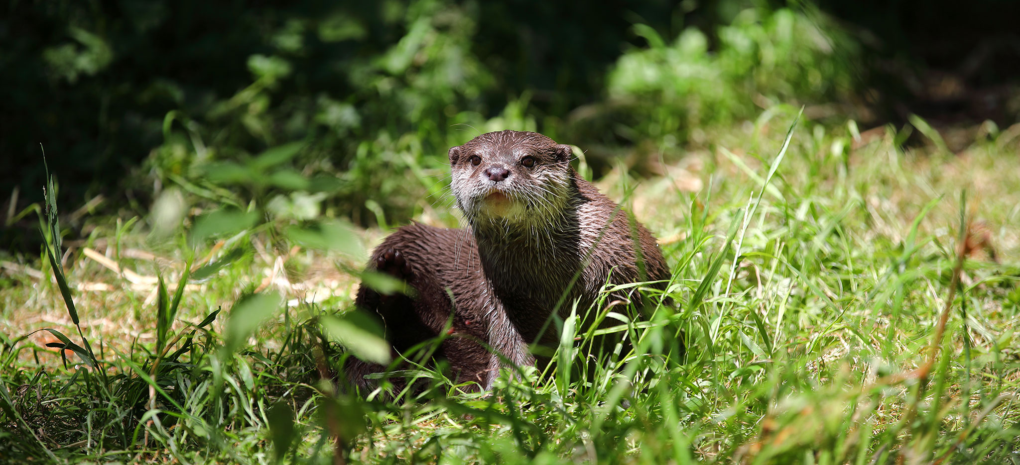 Otter in Wales