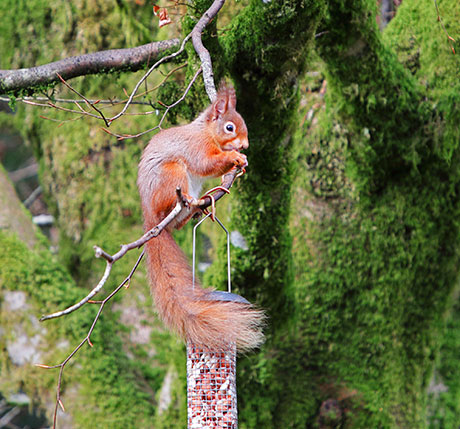 Red Squirrel in Scotland