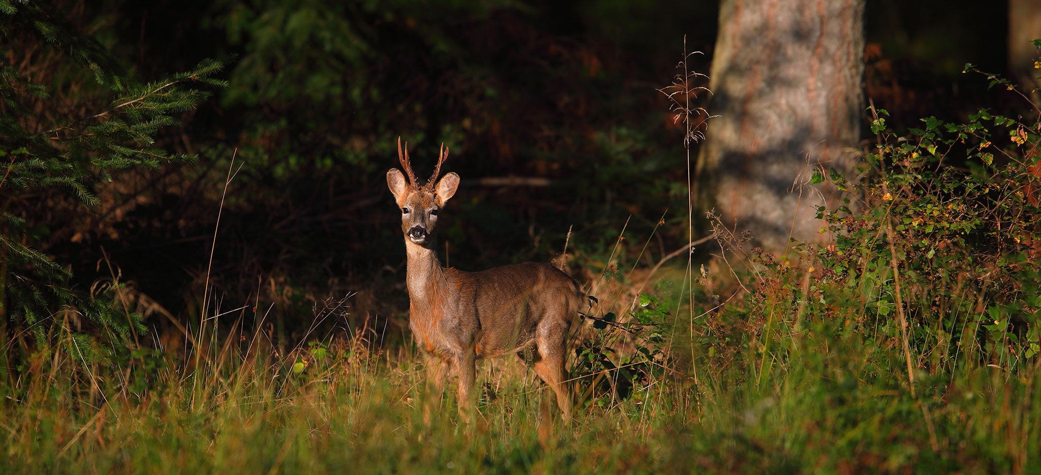 Roe Deer by Nature Expeditions