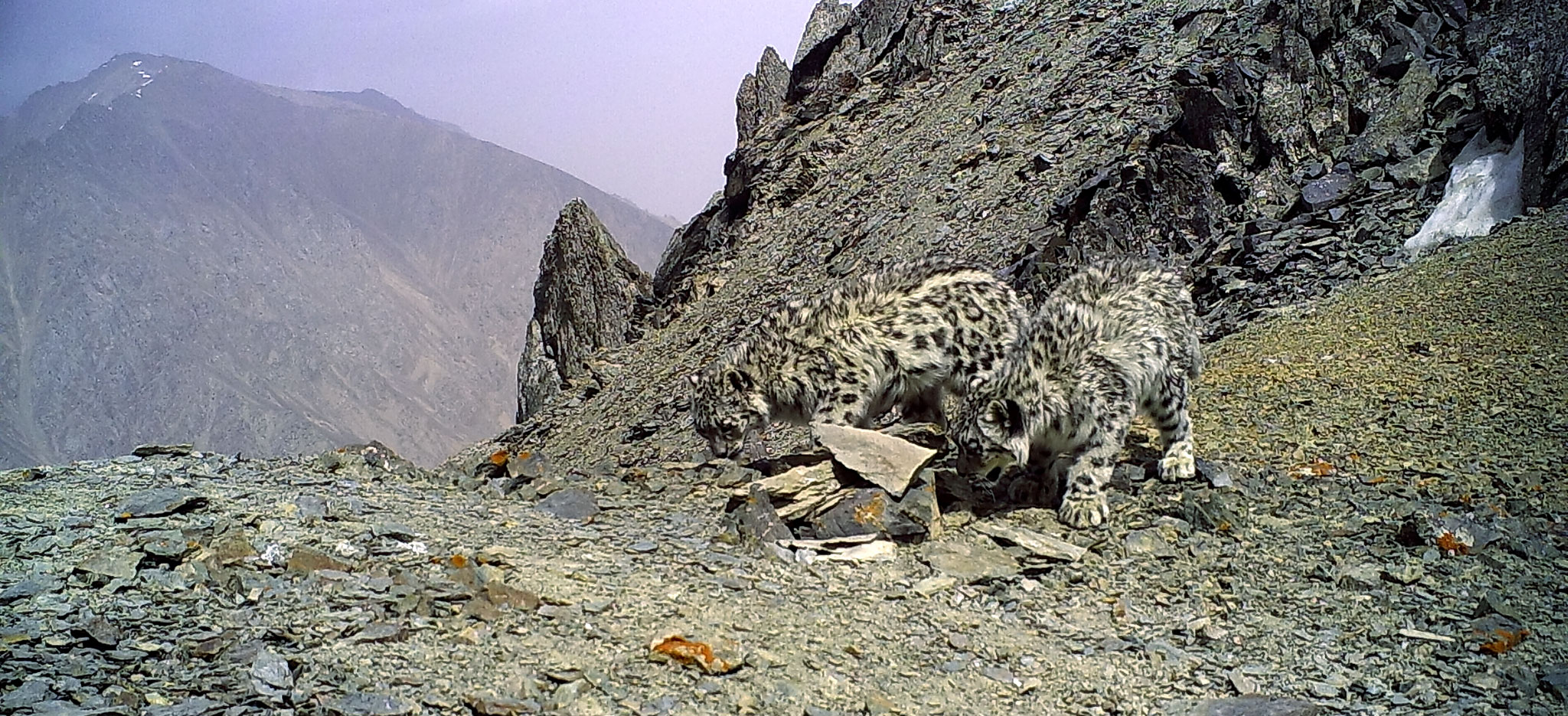 Snow leopards in Kazakhstan