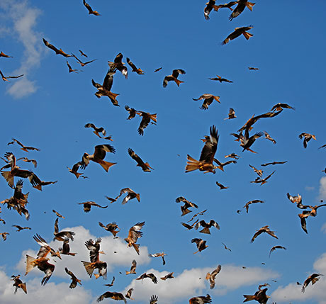 Festival of Red kites in Wales